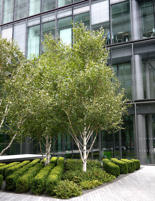 Landscaping With Paper Birch Trees : North americans surround city hall the street tree