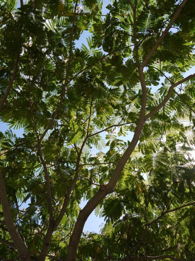 Persian Silk Tree Albizia julibrissin foliage