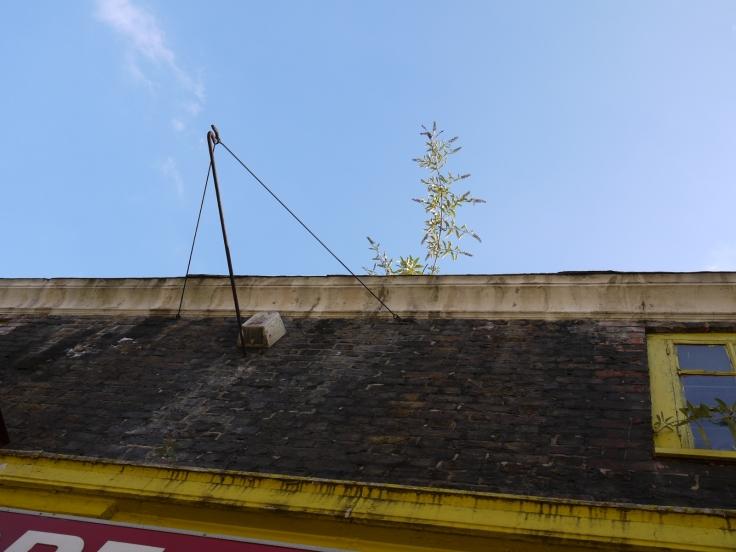 Buddleia (Buddleja davidii), Toynbee Street, London
