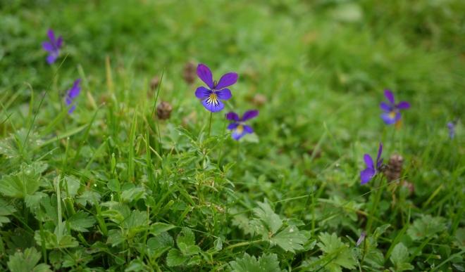 Mountain Pansy (Viola lutea)