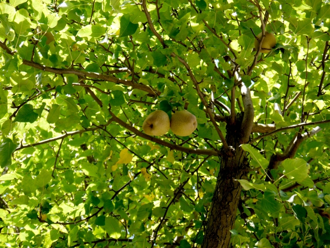Perry pears (Pyrus_communis) ripening on the tree