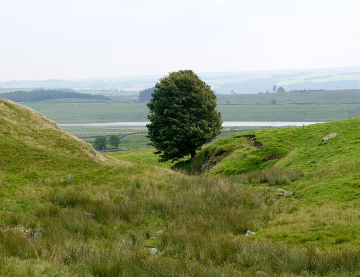 Sycamore (Acer pseudoplatanus) near Hadrian's Wall