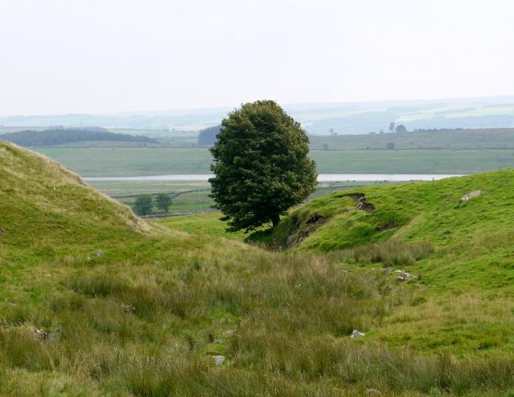 Sycamore (Acer pseudoplatanus) near Hadrian's Wall