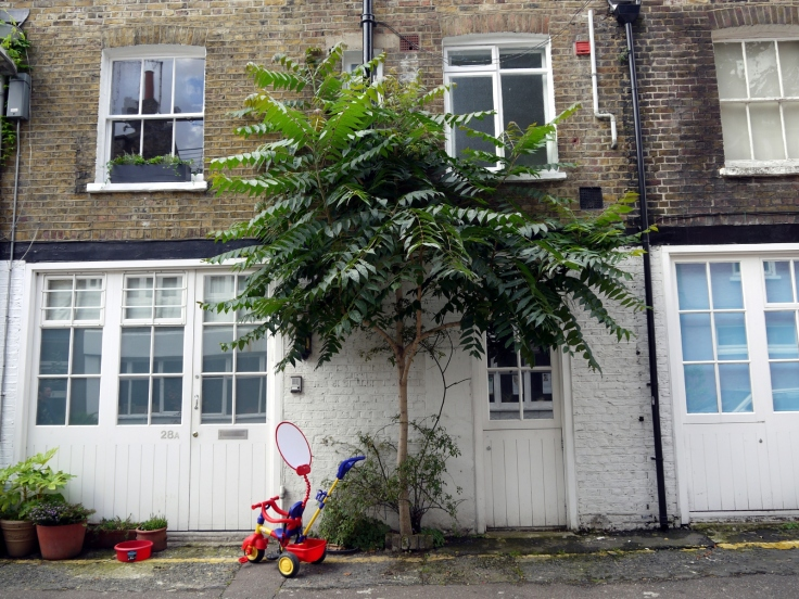 Tree of Heaven (Ailanthus altissima), Doughty Mews, Bloomsbury