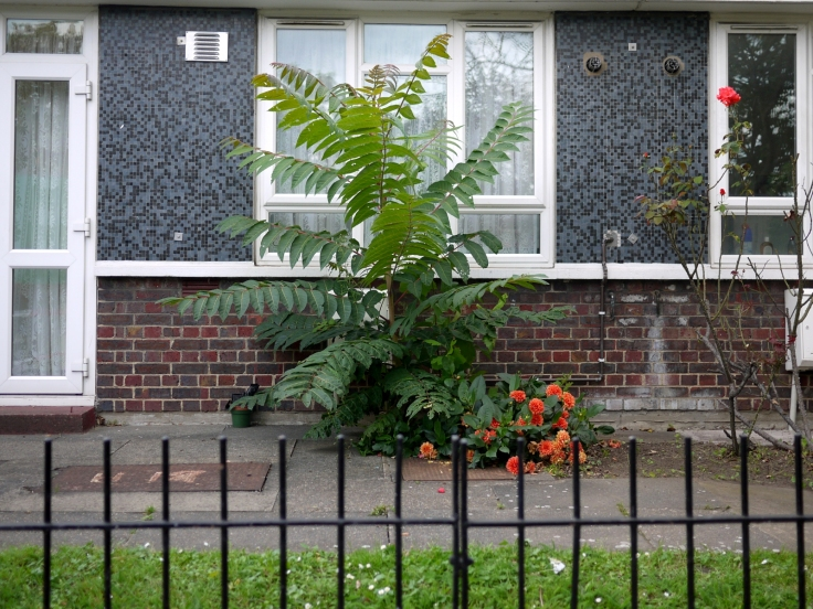 Tree of Heaven (Ailanthus altissima), Finsbury Estate, London