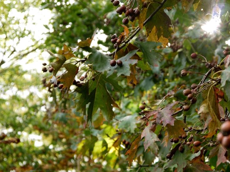 Chequers on Wild Service Tree (Sorbus torminalis), Queen's Wood