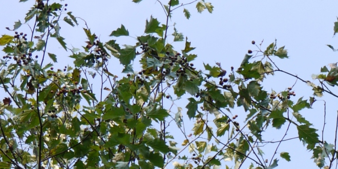 Chequers on Wild Service Tree (Sorbus torminalis)