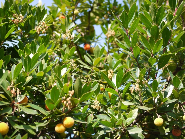 Flowers and fruit of European Strawberry Tree (Arbutus unedo)