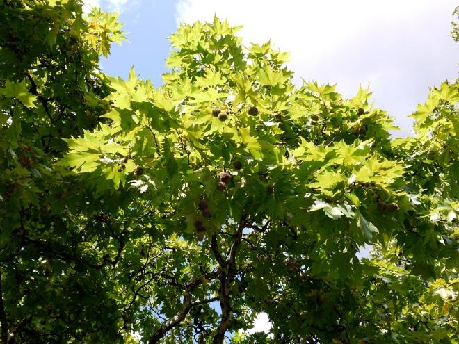 Platanus Orientalis foliage