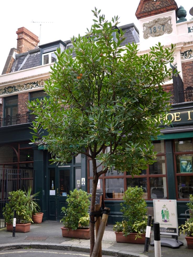 Strawberry tree (Arbutus unedo) street tree, Bermondsey