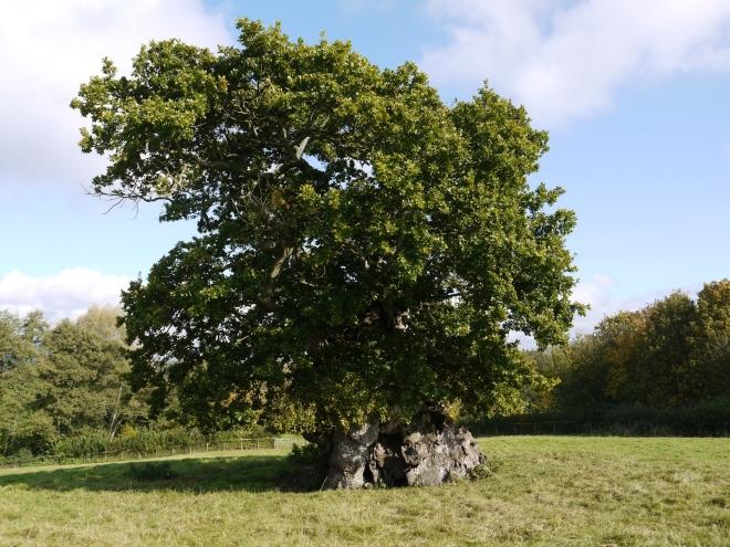 Wyndham's Oak, Silton, Dorset