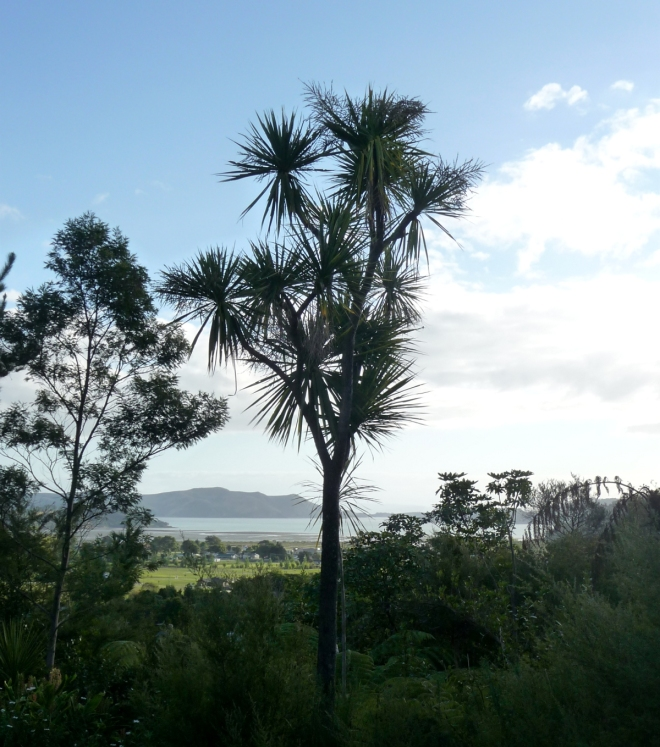 Cabbage Tree (Cordyline australis), Coromandel, New Zealand