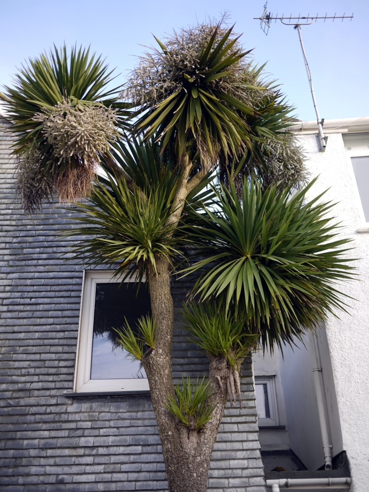 Fruiting Cabbage Tree, St. Ives, Cornwall