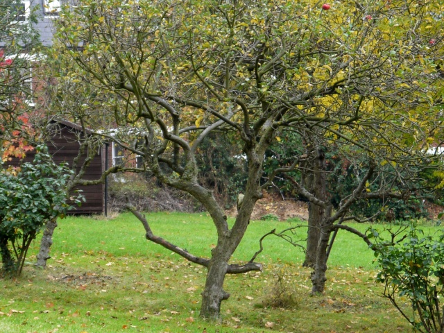 Green Woodpecker on an Apple tree in the orchard, St Josephs