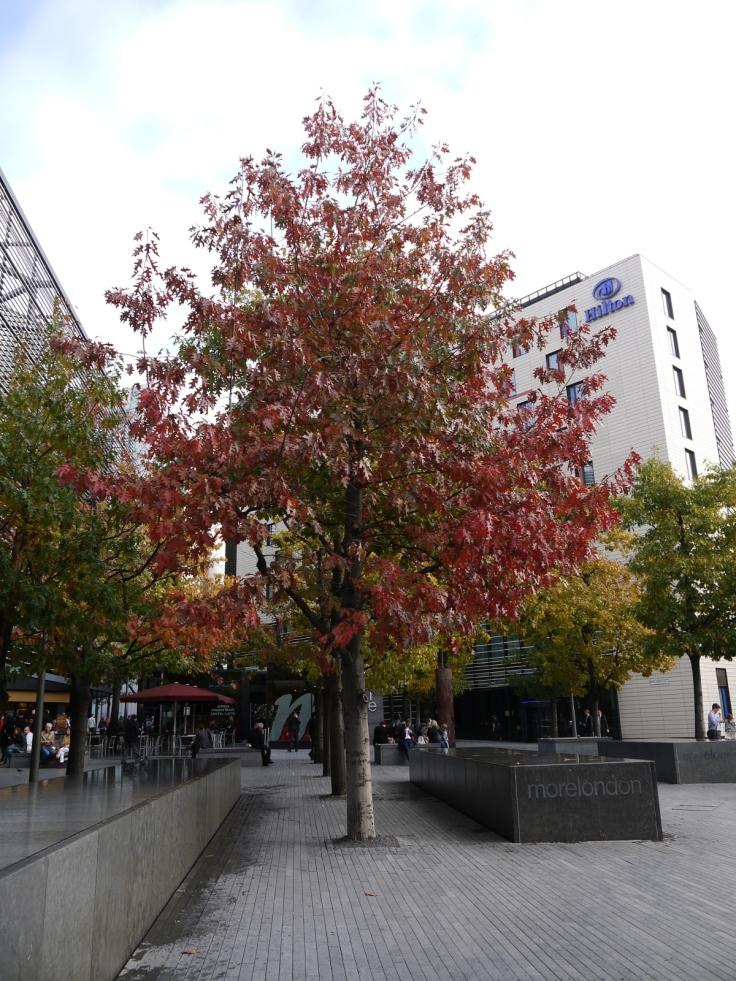 Red Oak (Quercus rubra), More London