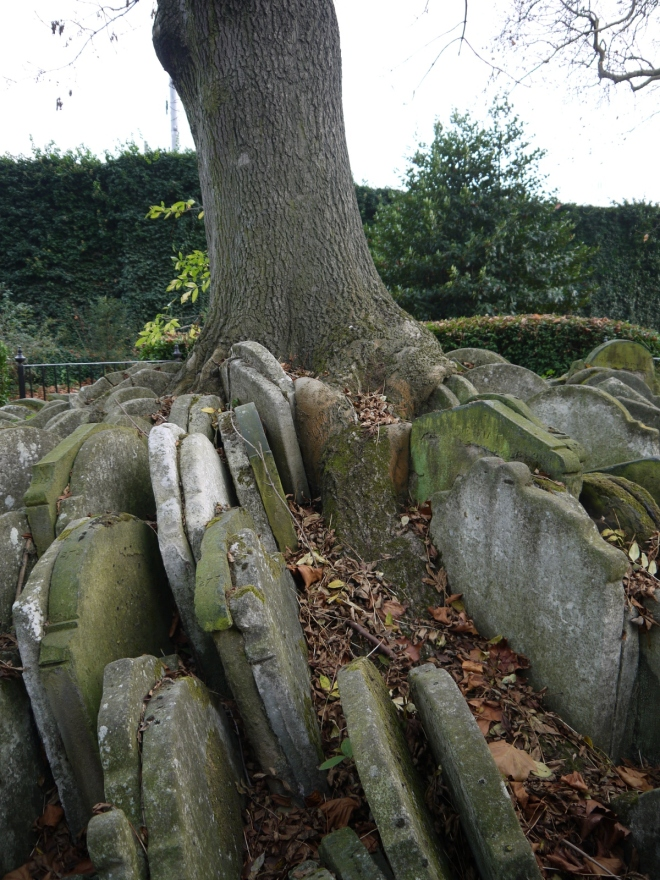 The Hardy Tree, an Ash (Fraxinus excelsior) surrounded by gravestones, Old St. Pancras churchyard, London