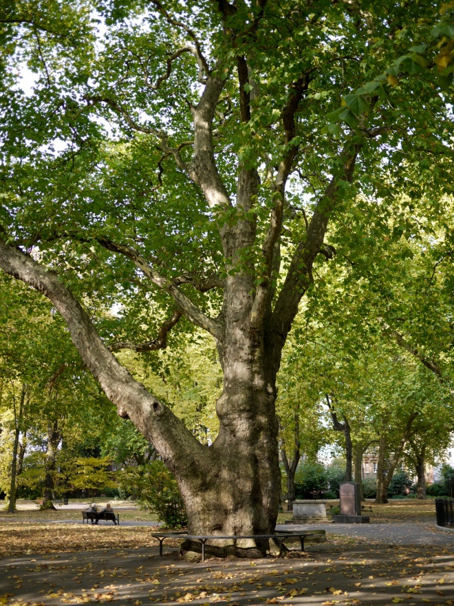 London Plane tree (Platanus x acerifolia), Old St Pancras churchyard, London
