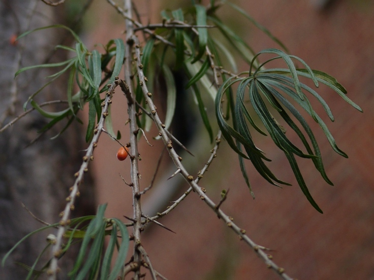Leaves and orange berry on the mystery street tree