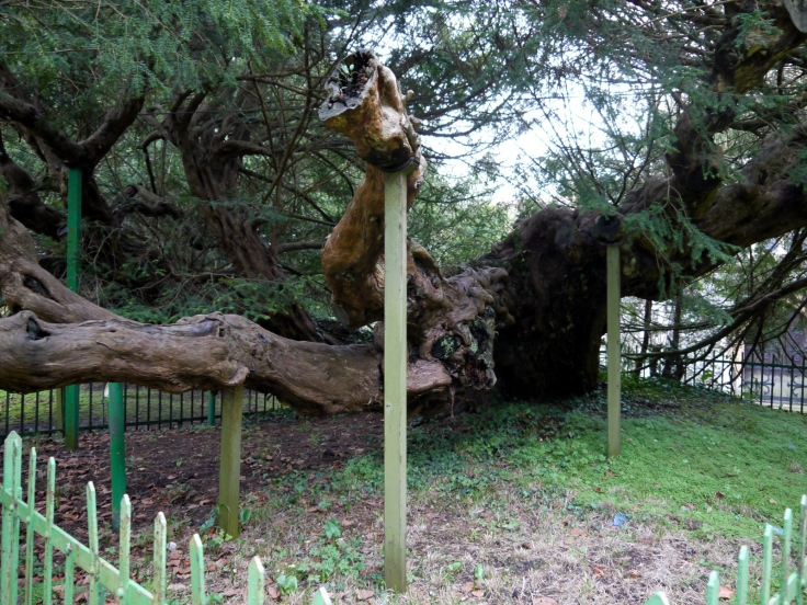 Props holding up the Buckland Yew (Taxus baccata) in St. Andrew's churchyard, Dover