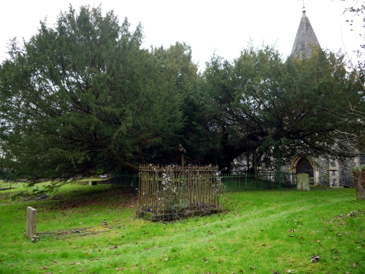 The Buckland Yew (Taxus baccata) in St. Andrew's churchyard, Dover