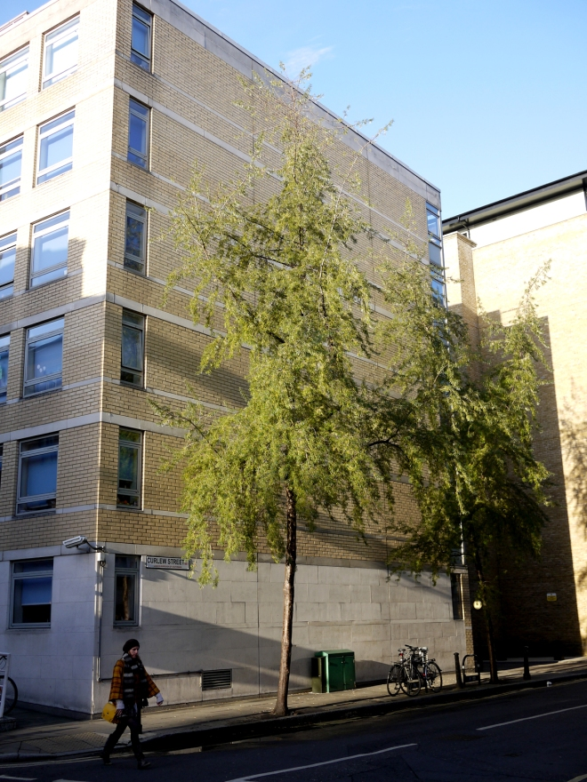 unidentified street tree, Curlew Street