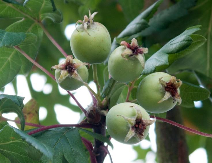 Eriolobus trilobatus leaves and unripe fruit