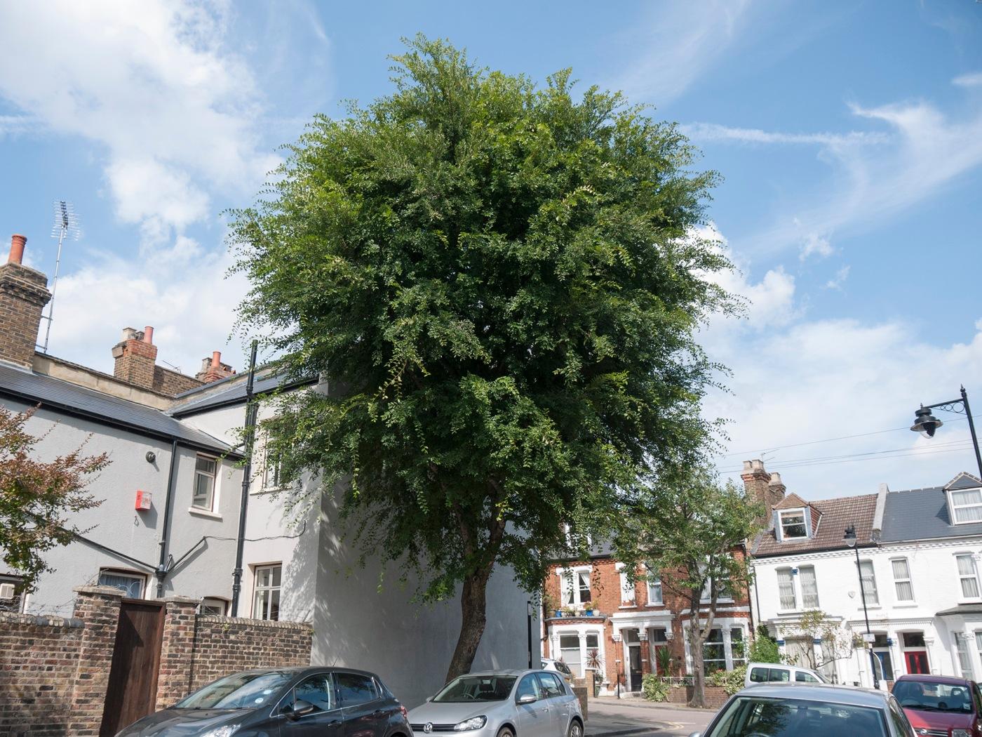 Mature Ulmus parvifolia street tree