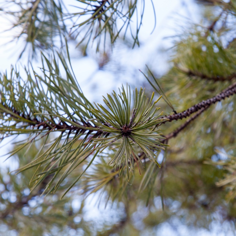 On the Trail of the LonesomePine