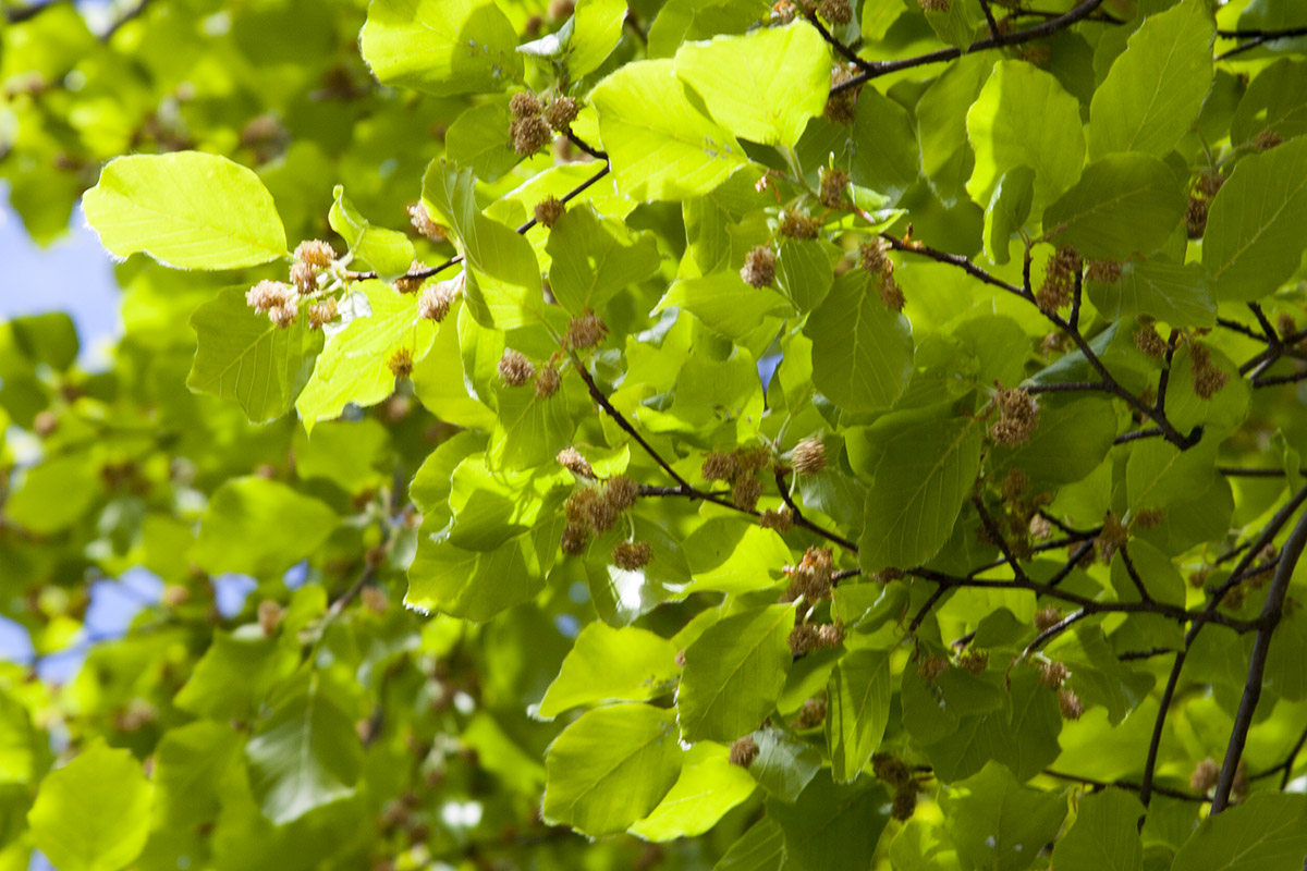 Beech leaves and flowers