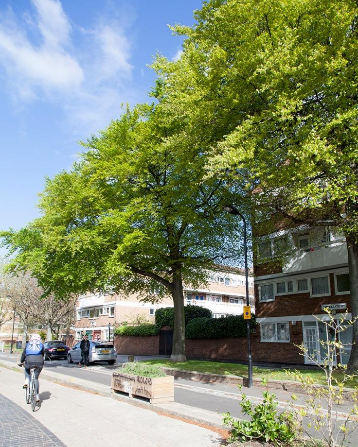 Beech trees in Hackney