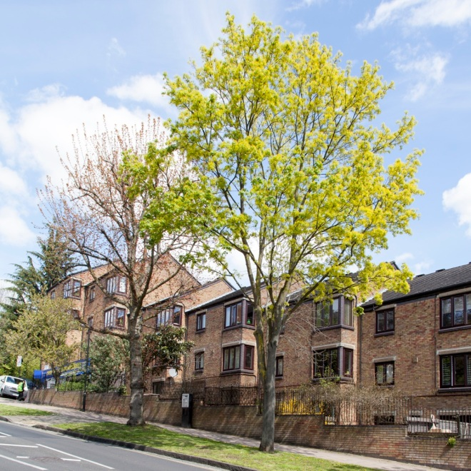 Suburban charms: Norway Maple flowering quietly in a North London street