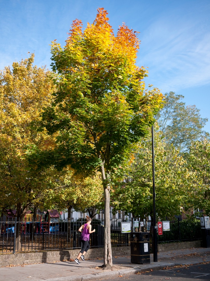 Jog on: Autumn colours beginning to show on this young street tree
