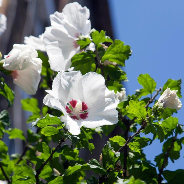 Hibiscus ? EC2 03 flower_MG_6480