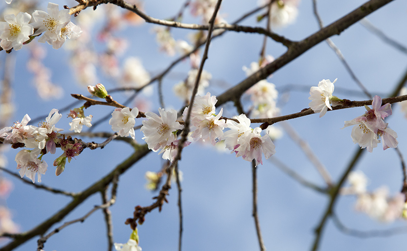 Winter Flowering Cherry The Great Deceiver The Street Tree