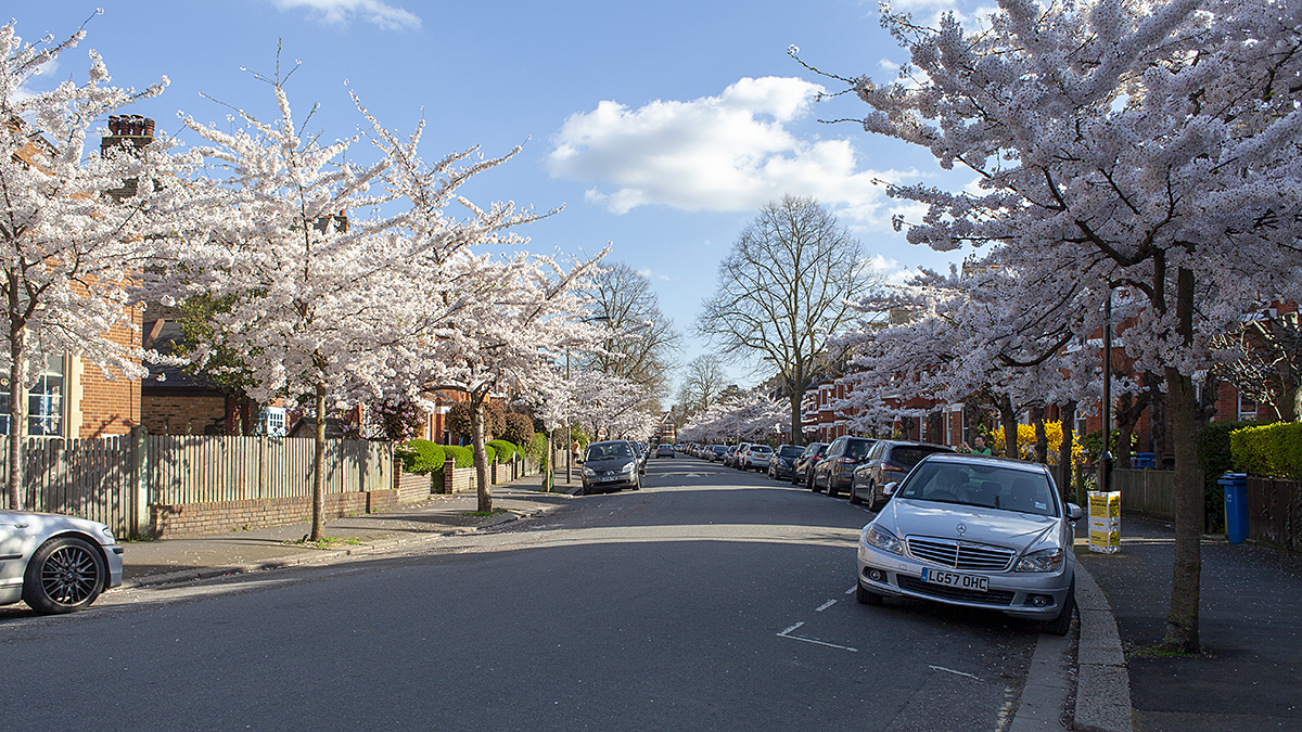 Yoshino cherries on Winterbrook Road, Herne Hill