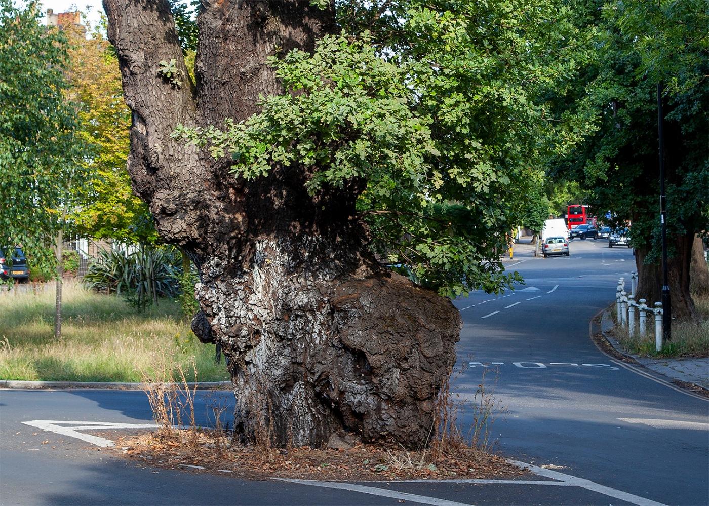 Ealing's Elephantine Oak
